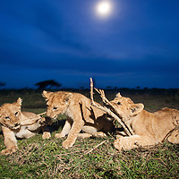 Tanzania, Ngorongoro Conservation Area, Ndutu Plains, Lion Cubs (Panthera leo) playing with dead twigs on open savanna at dusk under rising full moon