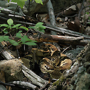 An angry rattlesnake just off the trail at the Massanutten Mountain Trails 100 Mile run May 17, 2008..The rattlesnake was on the trail until a runner was able to scare him off  with sticks and rocks without touching or harming the snake. .Race volunteers created a sign and warned runners as they approached the snake. The  Massanutten Mountain Trails 100 Mile run (MMT 100) May 17, 2008.<br /> The  race is considered one of the toughest Ultra Marathons on the east coast.