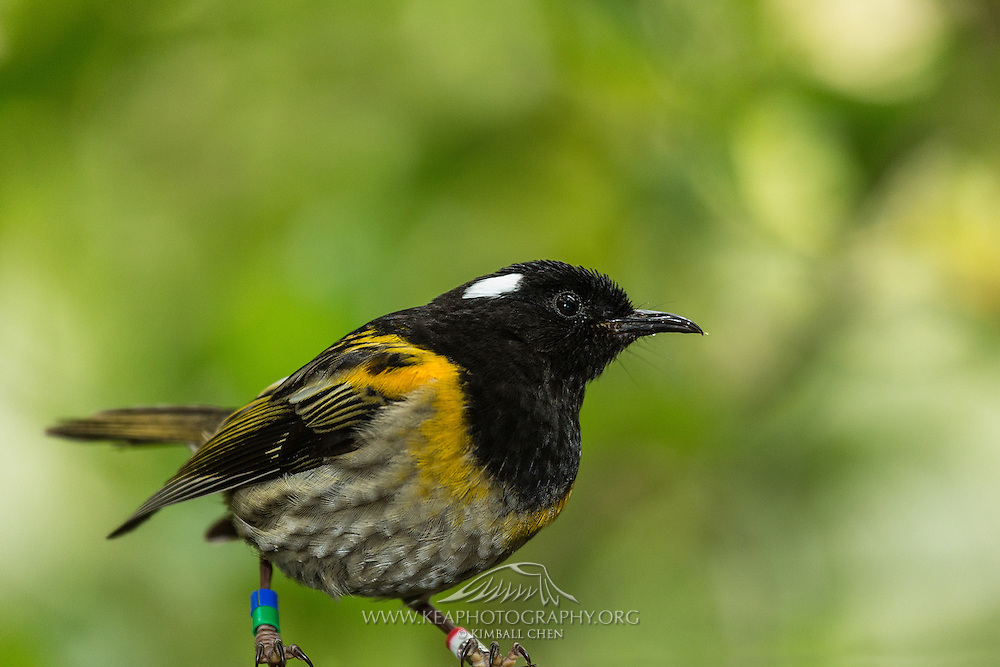 Stitchbird, Tiritiri Matangi, New Zealand