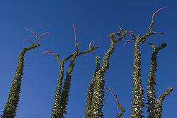 Ocotillo (Fouquieria splendens) against the blue sky in Anza-Borrego Desert State Park, California, USA