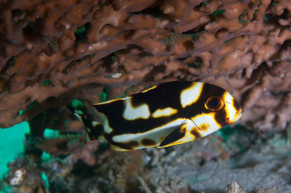 Juvenile sweetlips have very different markings to the adults and are thought to mimic toxic flatworms - an example of Batesian mimicry. Padangbai, on Bali's east coast, is one of the islands most convenient dive spots.  The strong currents that flow between Bali and Lombok produce strong upwellings of cold, nutrient rich water, perfect conditions for marine life and in particular, filter feeders such as sponges and crinoids.  The best dive sites are located around several rocky islands just offshore, but dive operators based in Padangbai also run trips across to Nusa Penida and Lembongan.