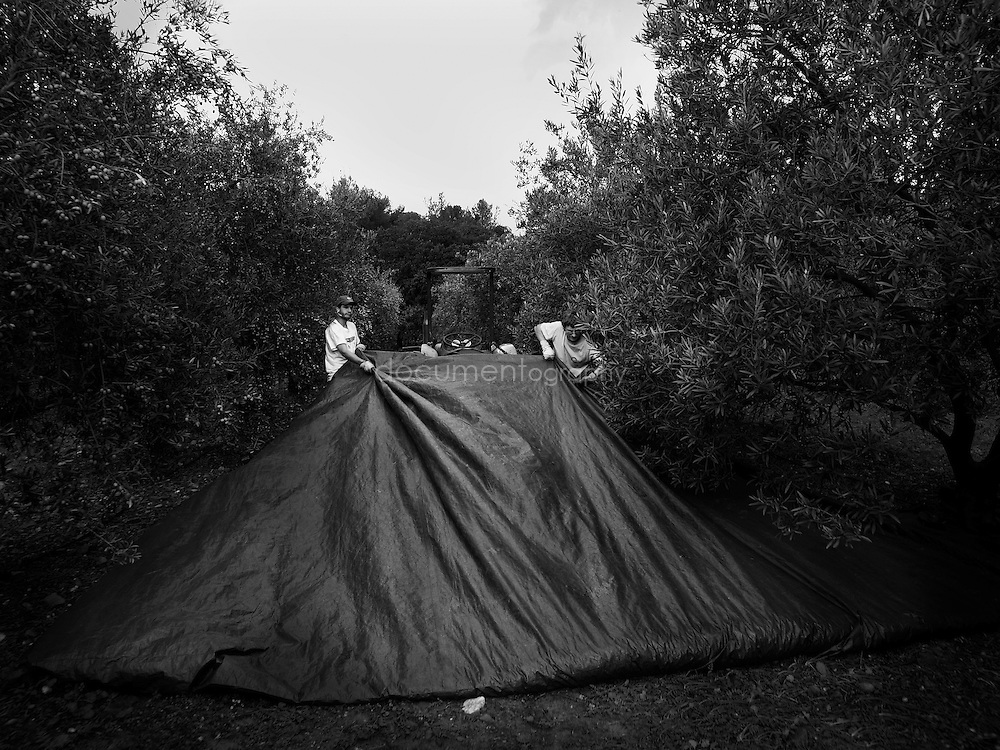 Workers dragging the groundsheet used to collect the olives, Domaine du Jasson, La Londe Les Maures, France.