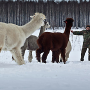 Alpaca breeding for wool in Poland photography by Piotr Gesicki