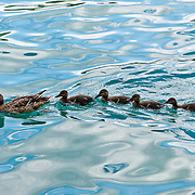 A mother duck leads four cute ducklings in a row on the rippled turquoise waters of Lake Bled, Slovenia, Europe. The town of Bled and glacially formed Lake Bled (Slovene: Blejsko jezero) are popular tourist sites in the Julian Alps in northwestern Slovenia. Lake Bled hosted the World Rowing Championships in 1966, 1979, 1989, and 2011.