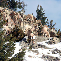Rams<br /> Wyoming Mountains<br /> Wyoming