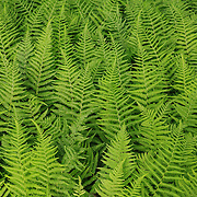&quot;Feathered Green&quot;<br />