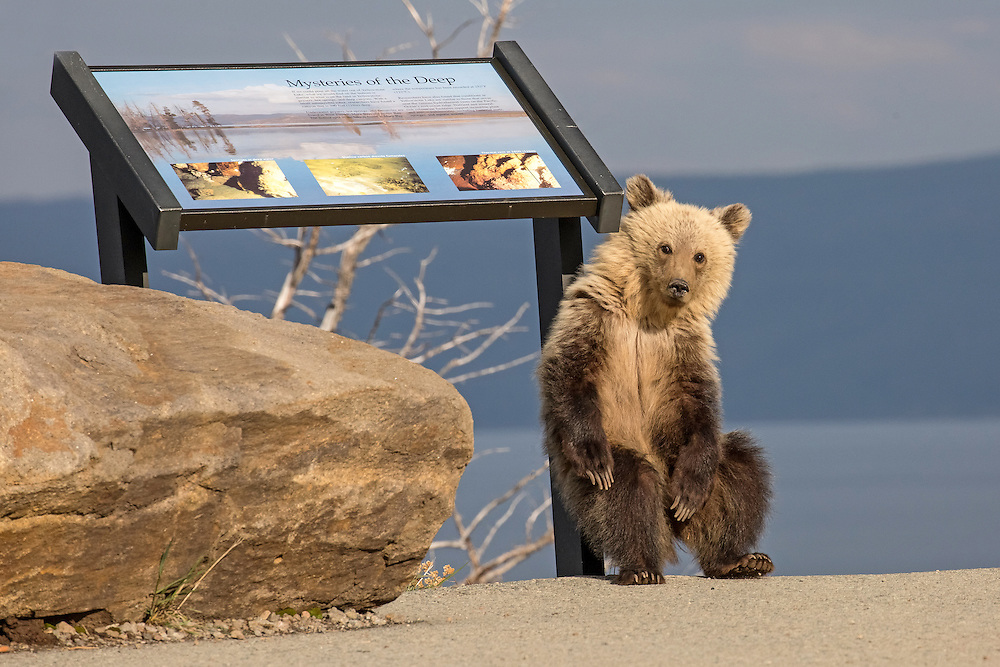Yellowstone is a bit short-staffed on rangers this year, but this yearling grizzly cub seems happy to oblige.  Right this way, folks......