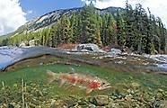 Rainbow Trout, Underwater