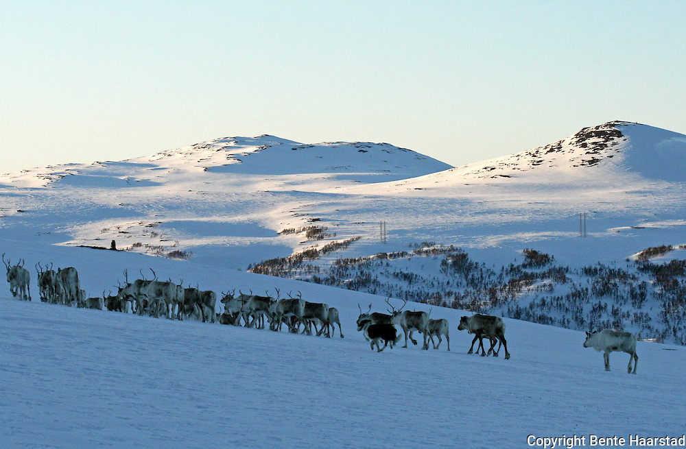 A dog helping mowing the reindeers. Reindeer herding in Mid-Norway. I bakgrunnen Sankåkleppen og Gardkleppen.