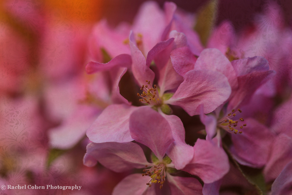 &quot;Temptation with Brocade&quot; <br /> <br /> Very lovely pink crab-apple blossoms with a delicate brocade.