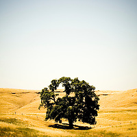 A lone oak tree in a California landscape.