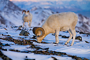 Dall's Sheep, Ovis dalli dalli, ram, horns, feeding, closeup, early winter, snow, alpine tundra;  adult wt: to 250 lbs.; winter food: grasses & sedges on windblown ridges, inhabits mountains in Alaska and Canada; Denali National Park, Alaska, ©Craig Brandt, all rights reserved; brandt@mtaonline.net