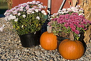 Pumpkins and chrysanthemums make an attractive fall or autumn display at a farm stand in Connecticut.