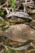 A red-eared slider (Trachemys scripta elegans) balances itself on an exposed log in an inlet in the Washington Park Arboretum in Seattle, Washington. Red-eared sliders are type of turtle native only to the southern United States, though they have been introduced in many other areas, including ponds along the Pacific coast.