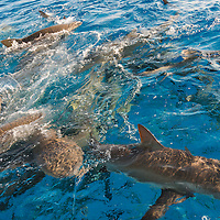 Sharks feeding on water surface, Bahamas