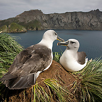 Antarctica, South Georgia Island (UK), Gray-headed Albatross (Diomedea chrystoma) courtship display by nesting site in cliffs overlooking Elsehul Bay on cloudy morning