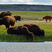 Bison drinking at a wetland pond in the Great Plains of Montana at American Prairie Reserve. South of Malta in Phillips County, Montana.