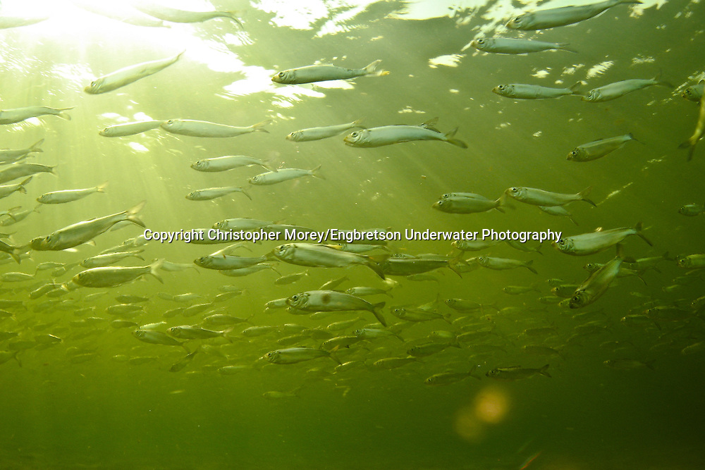 School of Alewives (Lake Michigan)<br />