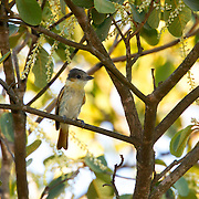 Rose-throated Becard <br /> Pachyramphus aglaiae<br /> Tecic, Nayarit, Mexico<br /> 6 June      Adult Female     Tityridae