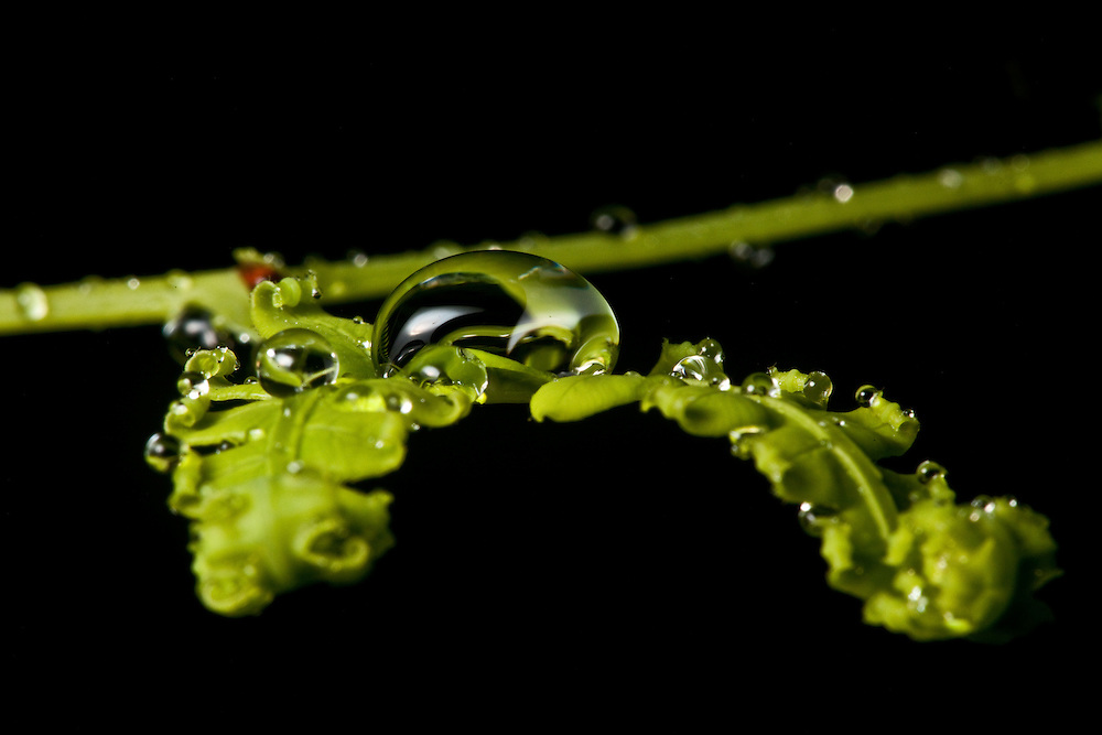 Droplet of water on a fern in the Sierra Caral of Guatemala