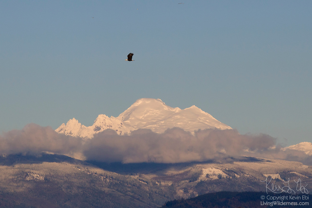 A bald eagle (Haliaeetus leucocephalus) flies over the Skagit River delta in Washington state with Mount Baker visible in the background. Mount Baker is an active volanco, and at 10,781 feet (3,286 meters), it is the third-highest mountain in Washington state and the fifth-highest in the Cascade Range.