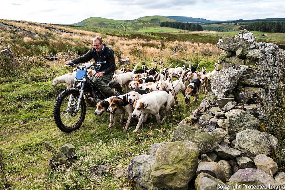 Jedburgh, Scottish Borders, UK. 1st September 2016. Foxhounds of the Jeforest Hunt with huntsman Johnny Riley in the hill country of the Scottish Borders.