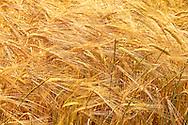 Wheat Field, Montana