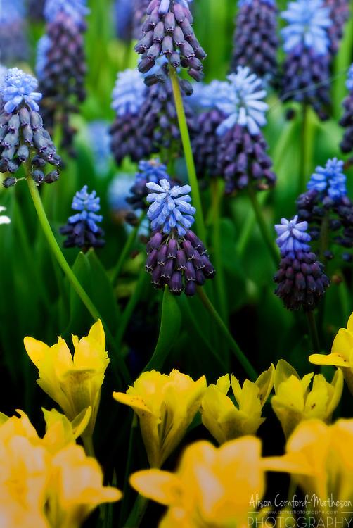 Muscari Grape hyacinth and tulips