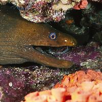 Panamic Green Eel hides in reef, Gymnothorax castaneus