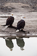 Two bald eagles (Haliaeetus leucocephalus) sitting on log on gravel bar with reflection in Chilkat River in Chilkat Bald Eagle Preserve near Haines in Southeast Alaska. Afternoon. Winter.