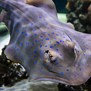The Blue Spotted Stingray or Taeniura lymma is part of the shark family. This saltwater fish is found in the West Pacific, East Africa, Red Sea, East Africa, Japan and parts of southern Australia. Photographed in the Vancouver Aquarium, 845 Avison Way, Vancouver, British Columbia, V6G 3E2 CANADA. It feeds on crustaceans around coral reefs in relatively shallow water of up to 65 feet. These Stingrays can grow to about 14 inches in width and over 3 feet in length with tail. They are often found in groups and can be buried in the sand. The large tail spine is dangerous and can sometimes cause deadly blood loss.