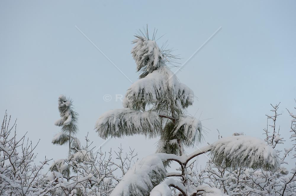 snow covered pine tree in Aiken, SC