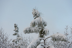snow covered pine tree in Aiken, SC