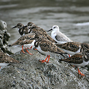 Group of plovers probing the shells and cracks on exposed coral rock during low tide on a Jekyll Island beach.