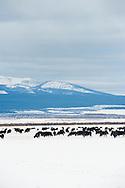 Black angus, cattle, grazing, Big Hole Valley, Beaverhead Mountains, Montana